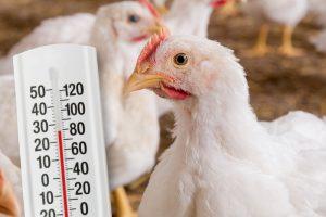 Onderzoek Trouw Nutrition BeneluxScan: verbetering productieparameters bij hittestress