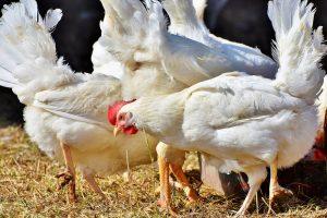 7 landen willen samen bioveiligheid in de pluimveesector verbeteren