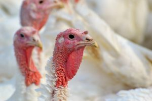 Vogelgriep vastgesteld bij pluimveebedrijf in Moergestel