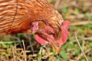 Benut verlaagde vennootschapsbelasting voor uw pluimveebedrijf