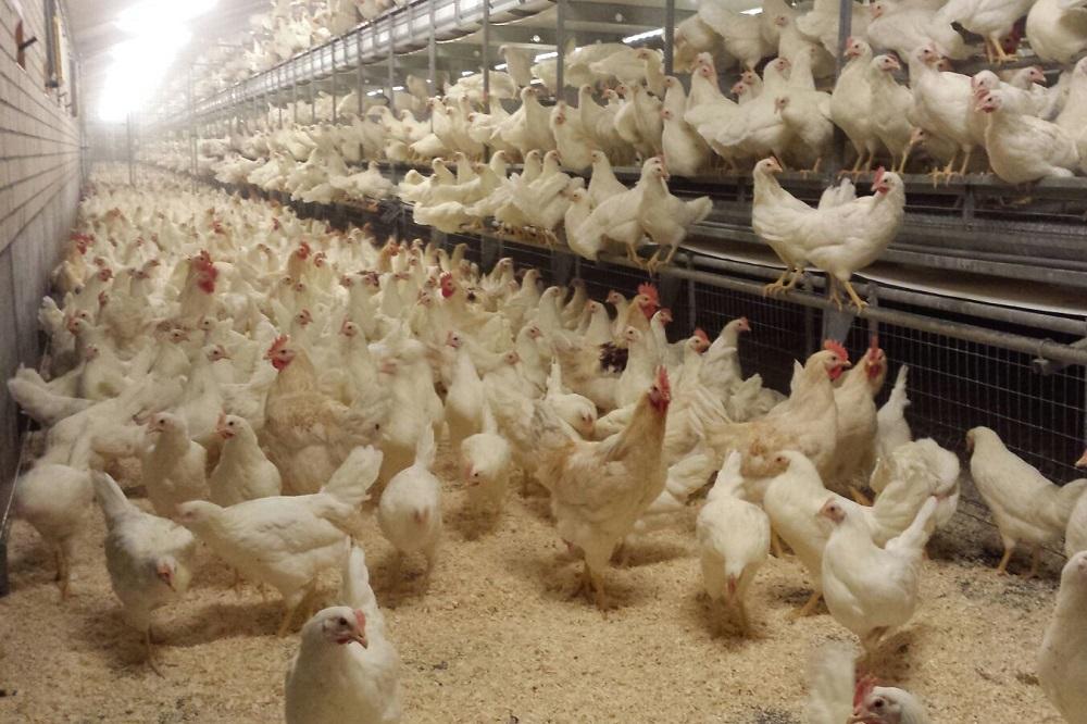 Vogelgriep: 16-weken-termijn vrije uitloopeieren ten einde