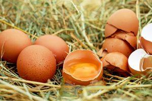 In Ovo broedt de eerste 150.000 kuikens uit zonder te ruimen