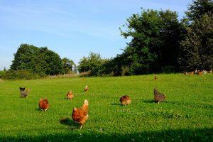 Biologische varkens en pluimvee lost stikstofcrisis niet op