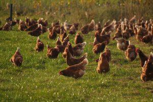 Regels staan in de weg voor uitloop kip