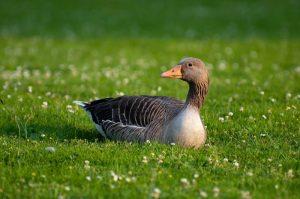 Vogelgriep vastgesteld bij hoenders en watervogels in Vleuten