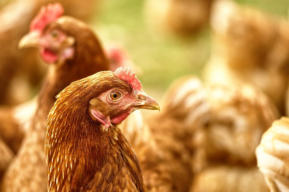 Pluimveehouderij: Consument draait naar dierenwelzijn