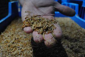 Insectenkwekerij ontpopt zich tot volwassen agrarische sector