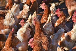 Toekomst pluimveehouders blijft onzeker; zowel voor vlees- als legpluimvee