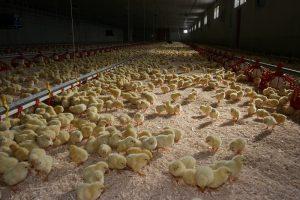 ILT-uitbraken bij vleeskuikens in Nederland