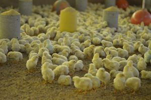 PVV Brabant: Regelgeving frustreert Beter Leven voor kippen