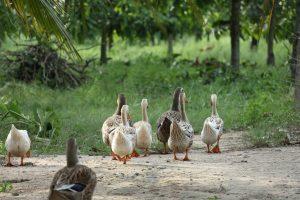 Vogelgriep: Geen extreme maatregelen