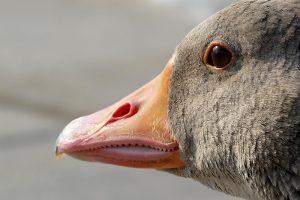 H5-besmette gans aangetroffen in Eemdijk
