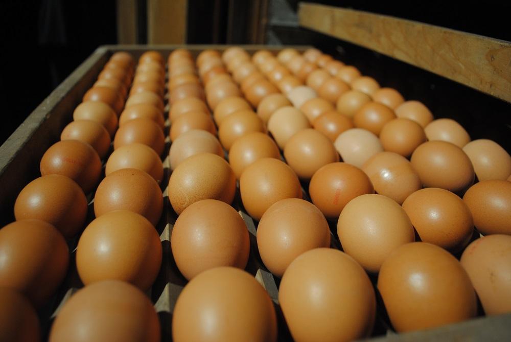 De prijs van eieren af boerderij zijn in april en mei fors gedaald. De index daalde van 106 in maart naar 97 in april en 91 in mei. Volgens het normale seizoenspatroon dalen de prijzen in het voorjaar na de piek tijdens Pasen (dit jaar op 4 april). De prijs af boerderij heeft betrekking op reguliere scharreleieren.