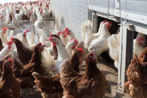 Duurzame productie van eieren zet door